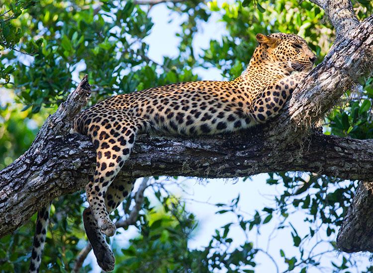 Intalniti-va cu leoparzii din Parcul National Yala